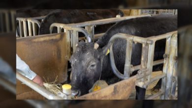 Photo of World's first cloned cow dies in Japan
