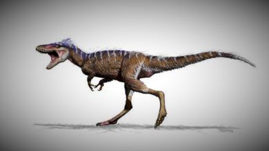 Tiny T. Rex Not A New Species But Teens