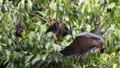 Photo of Coronavirus in bats affecting humans is rare: ICMR