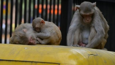 Photo of No monkey business in Himachal amid lockdown!