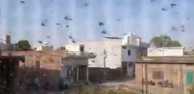 Locust Attack Farmlands In Up District