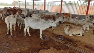 Photo of Meet Krishna Gopal who runs a cow shelter with 1100 cows