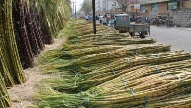 New Technology To Promote Sugarcane Cultivation In Up