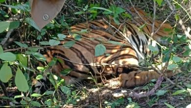 Photo of Tigress tranquilised, brought to Kanpur Zoo