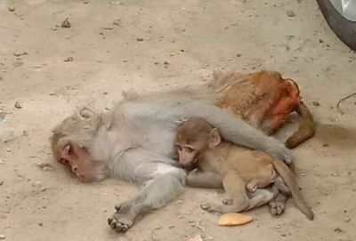 Peta Forest Officials Rescue Baby Monkey In Up