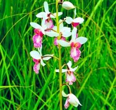 Photo of Rare orchid in Dudhwa found bearing seeds after a century
