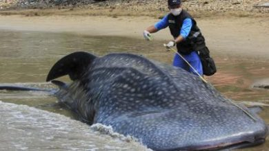 Photo of Another pilot whale found dead on Indonesian beach