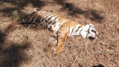 Tigress Found Dead In Ups Dudhwa Buffer Zone