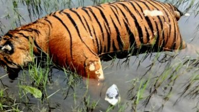 Photo of Tiger carcass found near Pilibhit Reserve